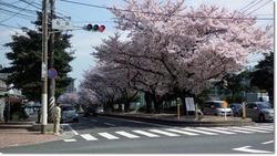 桜通り.jpg